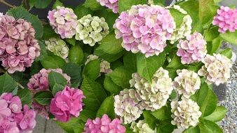 a lot of colorful hydrangeas flowers