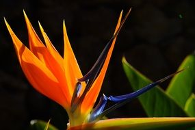 blossoming bird of paradise flower