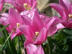 blooming pink tulips in the garden
