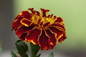 Flower marigolds on a blurred background