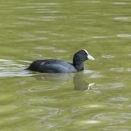 coot is a small water bird