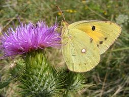 yellow butterfly sits on a flower of a cactus