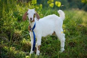 leashed goat