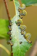 yellow caterpillars eat green leaf