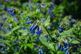 blue rough comfrey flower