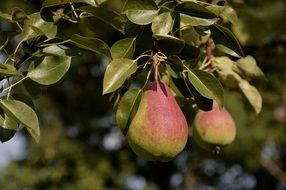 Ripe pears on a tree on a sunny day