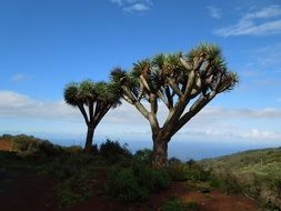 dragon tree on canary islands