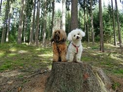 tibetan terrier in bichon frize sit on a stump in the forest