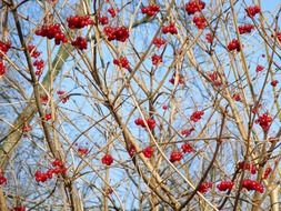 berries on the tree