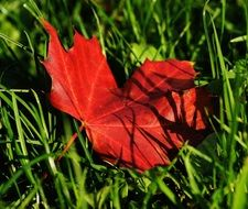 maple red leaf