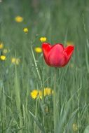 red tulip in the wild meadow