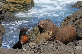 fur seal seals kekeno