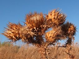 dry thistle in the sun close up
