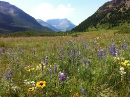 Beautiful and blooming, colorful wildflowers on the field among the mountains