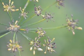 fennel seeds on plant close up