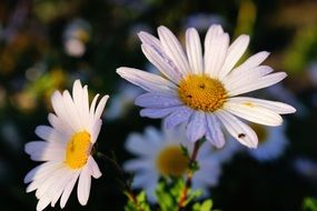 closeup of daisy flowers