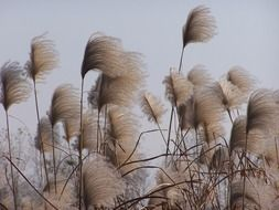 very beautiful reed weeds