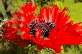 red poppy with stamens close-up