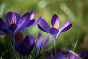 Blue crocuses, macro photography