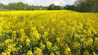wonderful oilseed rape field