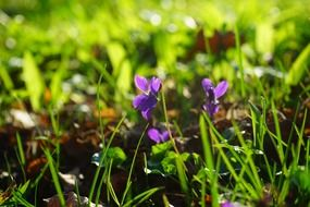 wald violet blossom on green grass