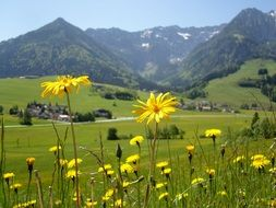 yellow flowers in a mountain meadow