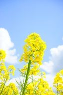Inflorescence of yellow rape
