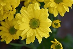 yellow marguerite blossms
