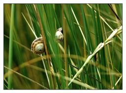 tiny snails on the blade of grass