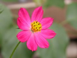 pink flower with yellow center on blurred background