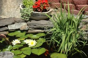 White lily flowers in the nice garden pond
