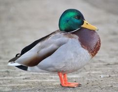 unusual beauty duck animal