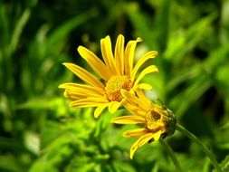 Yellow aster flowers blossom
