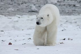 polar bear in Canada