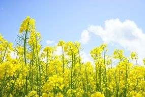 blooming of yellow rapeseed