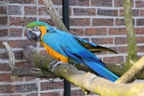 colorful ara parrot in captivity