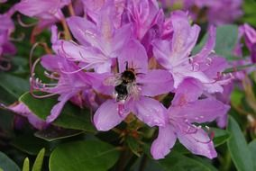 bee on the rhododendron flower