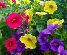 Multicolored petunia flowers in bloom
