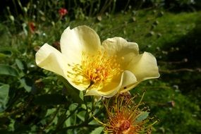 rose with golden petals