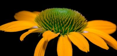 stamens of yellow echinacea