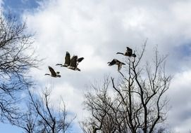 flight of canadian geese