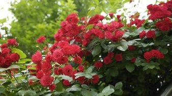 red roses on a bush in the summer in the garden