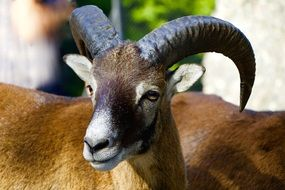 mountain mouflon