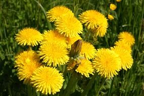 yellow dandelion flower meadow