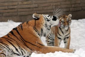 tigress with a cub in the snow
