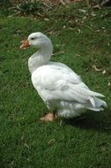 White goose on green grass