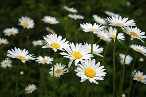 field of spring daisies