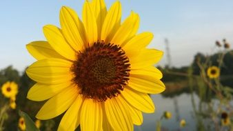 yellow sunflower in front of water at evening