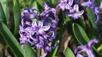 hyacinth flowers purple