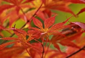 beautiful red leaves of japanese maple